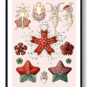 Asteridea Tusindfryd - plakat