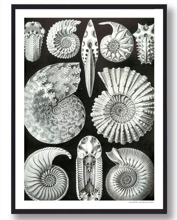 Blæksprutte fossil- plakat