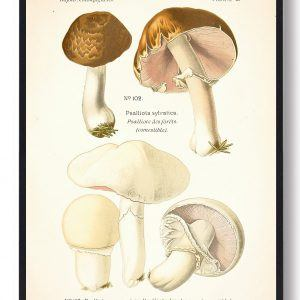 Blod champignon - Svampe plakat