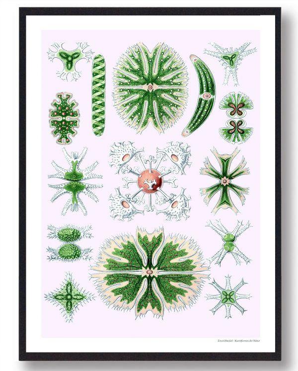 Desmidiales alger - plakat
