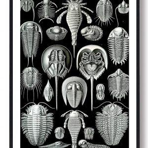 Hestesko krabbe - plakat