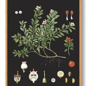 Köhler's Medizinal-Pflanzen - naturplakat