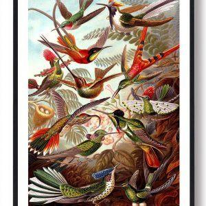 Kolibri - plakat