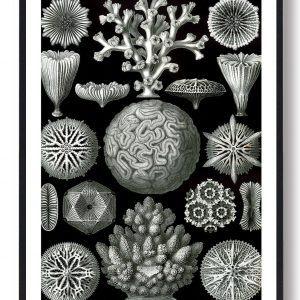 Mangearmede koraldyr - plakat