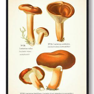 Rødbrun mælkehat - Svampe plakat