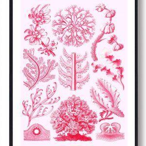 Røde alger - plakat