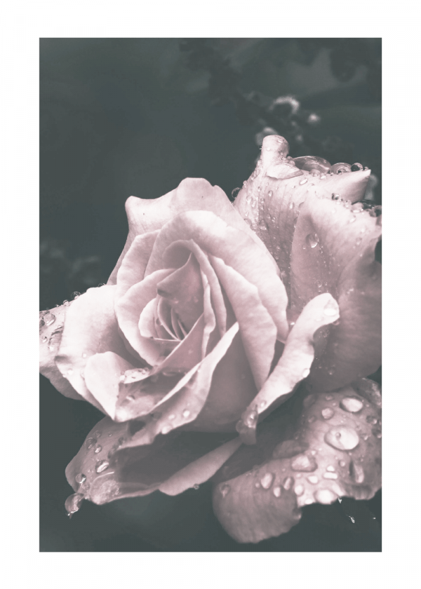 Crying rose - plakat