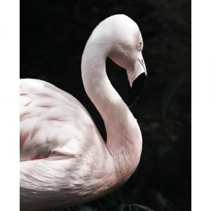 Flamingo - plakat