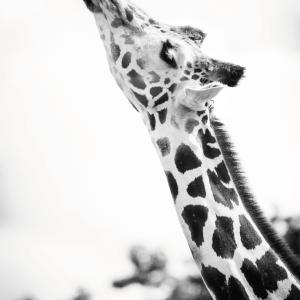 Giraf nr. 2 - plakat