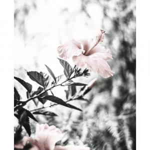 Hibiscus flower - plakat