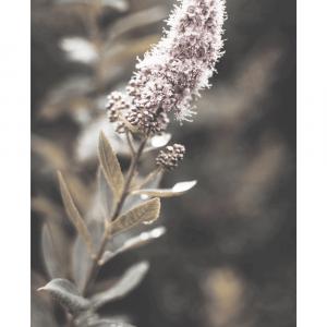 Lyserød spirea - plakat