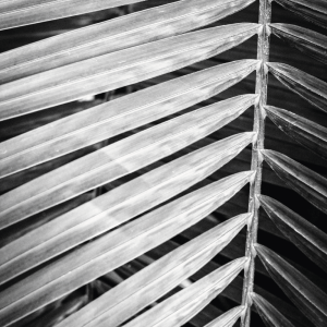 Palm in black and white - plakat