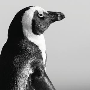 Pingvin - plakat