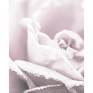 Pure rose - plakat
