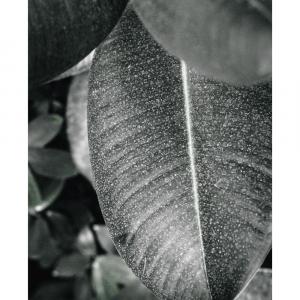 Rubber leaf - plakat