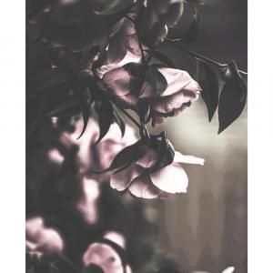 Sad roses - plakat