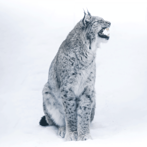Snow cat - Airpixels plakat