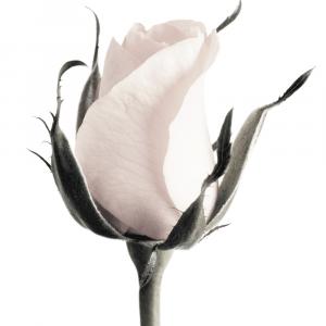 Standing rose - plakat