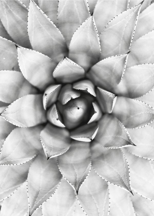 Black and white succulent plakat