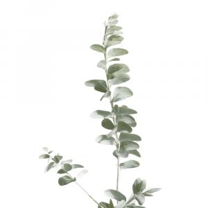 Eukalyptus plakat No1
