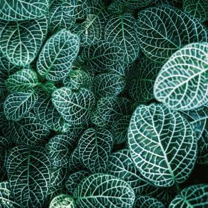 Fittonia plante plakat
