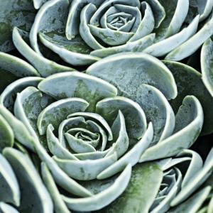 Green succulent plakat