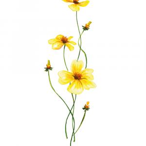 Gule anemoner plakat
