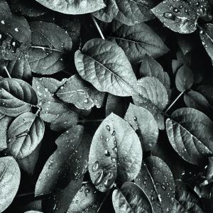 Rainy leaves plakat