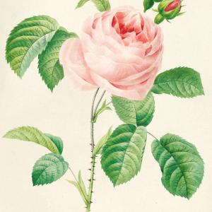 Retro rose plakat