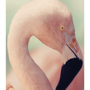Soft flamingo plakat