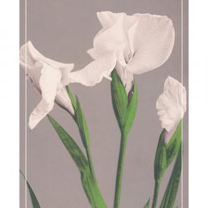 White Irises - Japansk fotokunst plakat