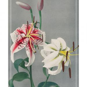 White lily - Japansk fotokunst plakat