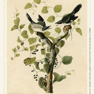 Loggerhead shrike - John James Audubon vintage leksikon plakat